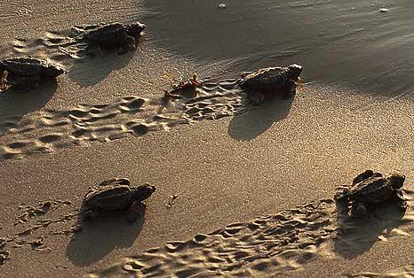 tortuga-recien-nacida