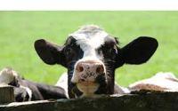 vaquilla